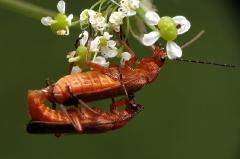 chrząszcze_1